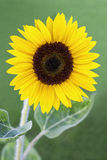 Girasole in giardino soleggiato Fotografie Stock Libere da Diritti