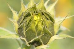 Girasole - helianthus annuus fotografia stock