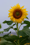 Girasole iconico nel Queensland, Australia Immagine Stock