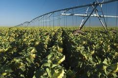girasole irrigato campo immagini stock