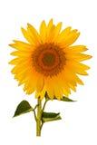 girasole isolato sul gambo e sul foglio del fiore di white Fotografia Stock Libera da Diritti