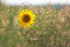 Girasole (lat Helianthus) in campo di mais, Palatinato, Germania Immagine Stock