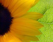 Girasole luminoso Fotografia Stock Libera da Diritti