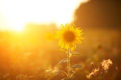 Girasole luminoso alla luce di tramonto Fotografie Stock Libere da Diritti