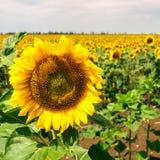 Girasole nel campo un chiaro giorno di estate Immagine Stock Libera da Diritti
