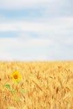 Girasole nel giacimento di cereale fotografia stock