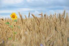 Girasole nel giacimento di grano fotografie stock