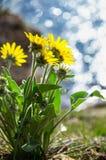 Girasole recentemente fiorito fotografia stock libera da diritti