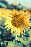 Girasole singolo del fiore Fotografia Stock Libera da Diritti