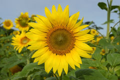 Girasole-singolo fiore Immagine Stock Libera da Diritti