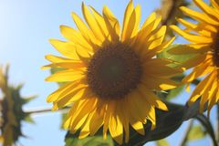 Girasole & sole Immagini Stock Libere da Diritti