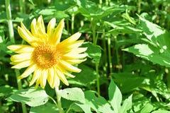 Girasole solo in fioritura Immagini Stock Libere da Diritti