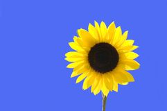 Girasole sopra cielo blu immagini stock libere da diritti