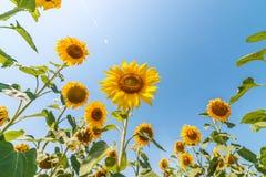 Girasole sul campo e cielo blu con il sole Immagini Stock Libere da Diritti