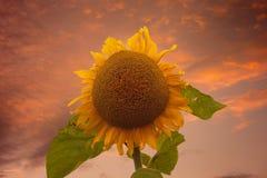 Girasole sul cielo di tramonto immagini stock