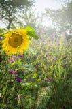Girasole sullo sfondo naturale dei fiori selvaggi e delle erbe nel sole di estate fotografie stock