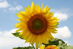 Girasole un giorno di estate pieno di sole Immagini Stock