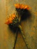 Girasoles Fotografía de archivo