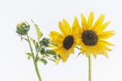 Girasoles Foto de archivo libre de regalías