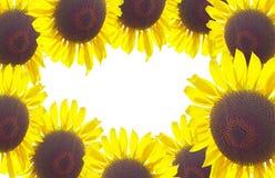 Girasoles Fotografía de archivo libre de regalías