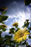 Girasoles Imagen de archivo
