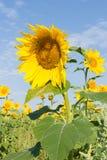 Girasoles Imagen de archivo libre de regalías