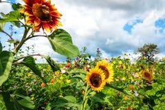 Girasoles altos en prado de la flor Imagen de archivo
