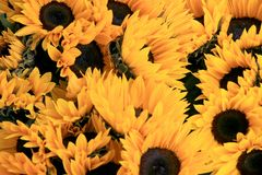 Girasoles amarillos Foto de archivo
