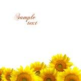 Girasoles amarillos Foto de archivo libre de regalías