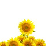 Girasoles amarillos Fotografía de archivo