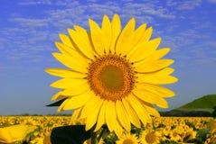 Girasoles amarillos Imagen de archivo libre de regalías