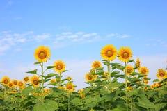 Girasoles amarillos brillantes Imagen de archivo libre de regalías