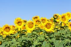 Girasoles amarillos brillantes contra un cielo azul Fotografía de archivo libre de regalías