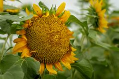 Girasoles amarillos brillantes en la plena floración fotos de archivo libres de regalías