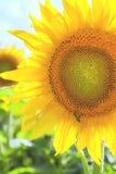 Girasoles amarillos con la abeja en campo Fotografía de archivo