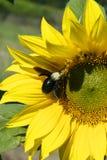 Girasoles amarillos con la abeja en un día asoleado Imagenes de archivo