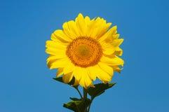 Girasoles amarillos contra el cielo azul Imágenes de archivo libres de regalías
