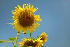 Girasoles amarillos de las flores hermosas en verano Fotografía de archivo libre de regalías