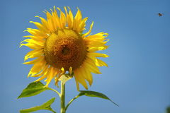 Girasoles amarillos de las flores hermosas en verano Foto de archivo