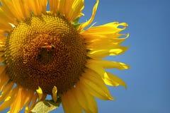Girasoles amarillos de las flores hermosas en verano Fotografía de archivo
