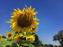 Girasoles amarillos de las flores hermosas en verano Imagen de archivo