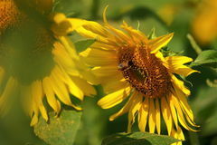Girasoles amarillos de las flores hermosas en verano Imagenes de archivo