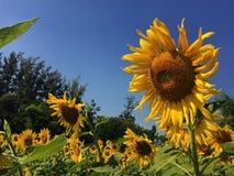 Girasoles amarillos de las flores hermosas en verano Foto de archivo libre de regalías