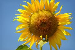 Girasoles amarillos de las flores hermosas en verano Imagen de archivo libre de regalías