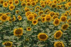 Girasoles amarillos en el campo Imágenes de archivo libres de regalías