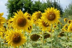 Girasoles amarillos en el fondo del cielo del verano imagen de archivo