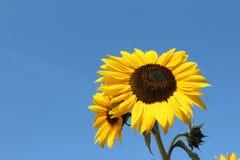 Girasoles amarillos felices brillantes en un cielo azul del verano del mediodía Imagen de archivo