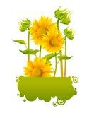 Girasoles amarillos hermosos Imagen de archivo libre de regalías