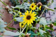 Girasoles amarillos hermosos en los campos fotos de archivo