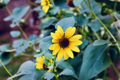 Girasoles amarillos hermosos en los campos imágenes de archivo libres de regalías